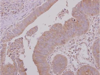 USH1G Polyclonal Antibody