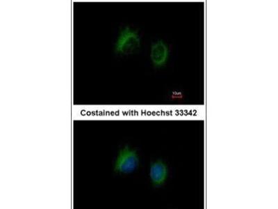 IL-37 Polyclonal Antibody