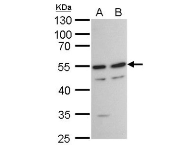 TAF7 Antibody