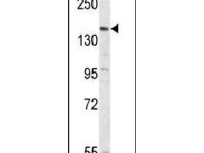 PCDH17 Polyclonal Antibody