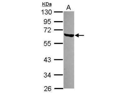 LSM14A Polyclonal Antibody