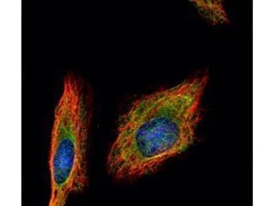 HENMT1 Polyclonal Antibody