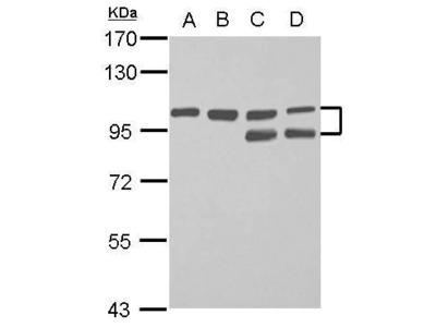 FAM115C Polyclonal Antibody