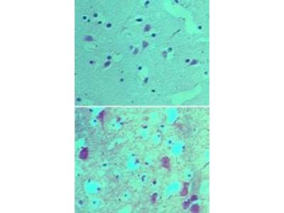 SOX1 Polyclonal Antibody