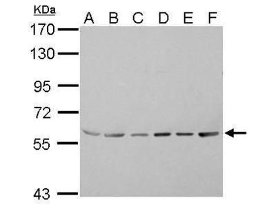 ASC1 Polyclonal Antibody