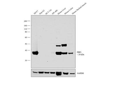 FBP1 Polyclonal Antibody