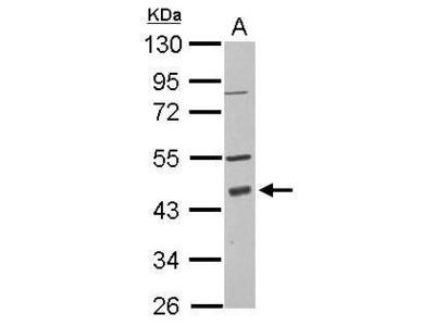 PDCD2 Polyclonal Antibody