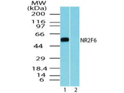 EAR2 Polyclonal Antibody
