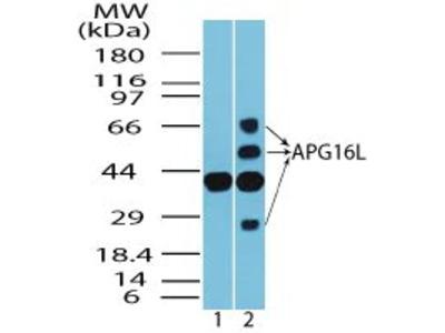 ATG16L1 Antibody