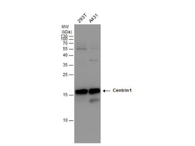 Centrin 1 Antibody