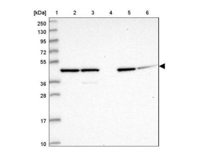 GAS8 Antibody