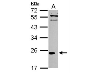 IL-37 / IL-1F7 Antibody