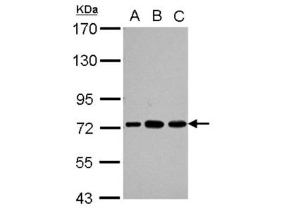 PABPC3 Antibody