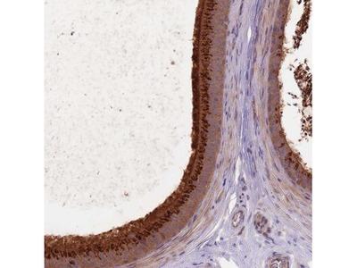 FAM12A Antibody