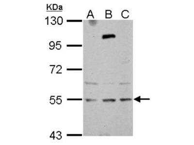 Rabbit Polyclonal ZNF513 Antibody