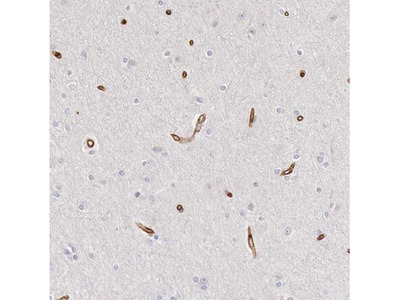 NEXMIF Antibody