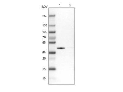 SLC25A33 Antibody