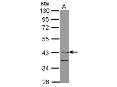 ILT7 / CD85g / LILRA4 Antibody