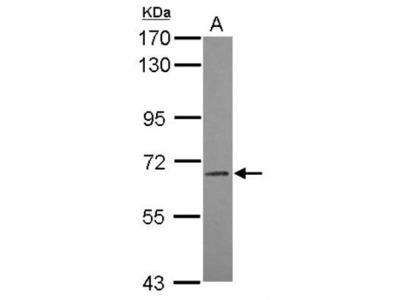 ILT5 /CD85a /LILRB3 Antibody