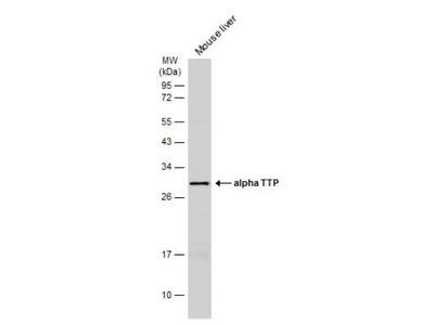 Alpha-TTP Antibody
