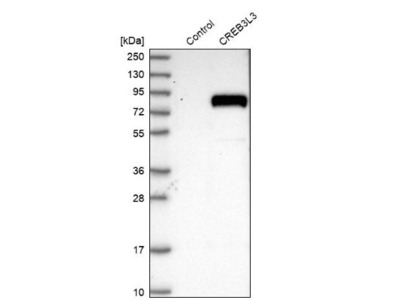 CREB3L3 Antibody