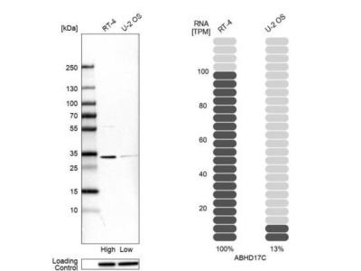 FAM108C1 Antibody