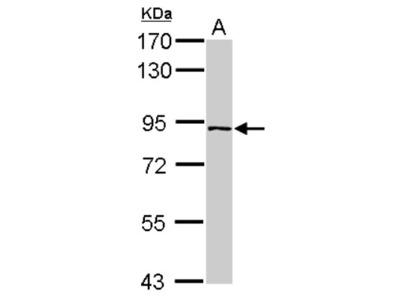 Rabbit Polyclonal PLEKHH3 Antibody