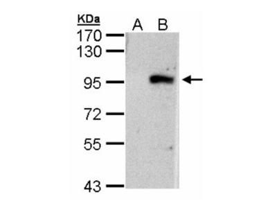 ECEL1 Antibody