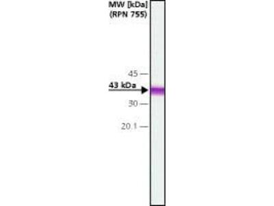 Connexin 43 Monoclonal Antibody (CXN-6)