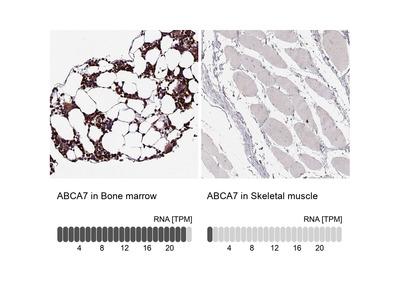 Anti-ABCA7 Antibody