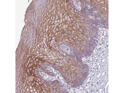 Anti-CHAC2 Antibody