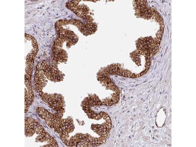 Anti-SLC39A7 Antibody