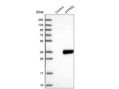 Anti-ATP5SL Antibody