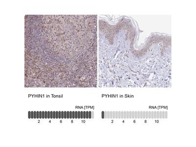 Anti-PYHIN1 Antibody
