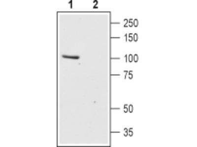 Anti-TRPC6 (extracellular) Antibody