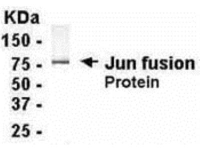 Chicken Polyclonal c-jun Antibody