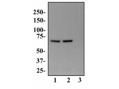 PABP Antibody (10E10)