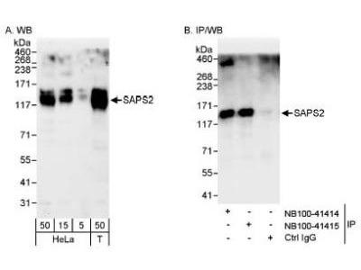 SAPS2 Antibody