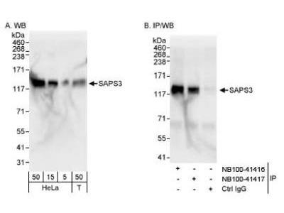 Rabbit Polyclonal SAPS3 Antibody