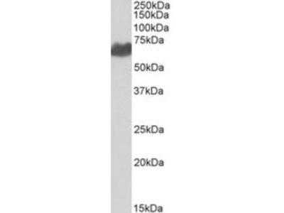 Goat Polyclonal PMEL17 / SILV Antibody