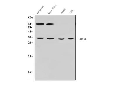 Anti-Aquaporin 3/AQP3 Antibody