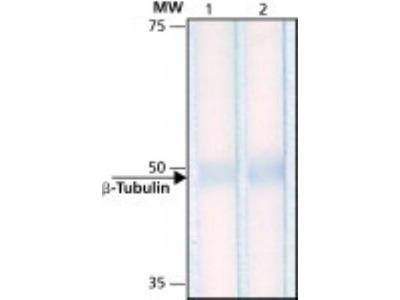 Mouse Monoclonal beta Tubulin Antibody