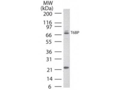 TAX1BP1 Antibody
