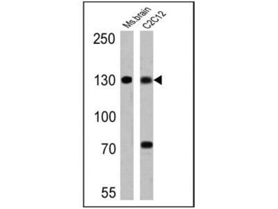 uNOS Antibody (NOS-3F7-B11 B5)