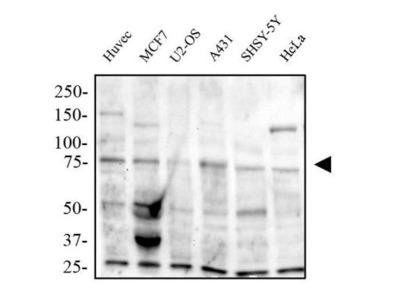 Human TRAF7 Antibody Not working