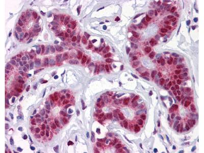TSC22D3 Antibody [3A5]