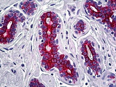 KRT7 Antibody [OV-TL 12/30]