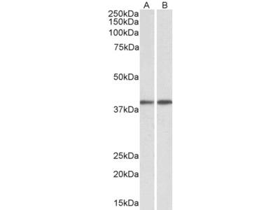GNAQ Antibody