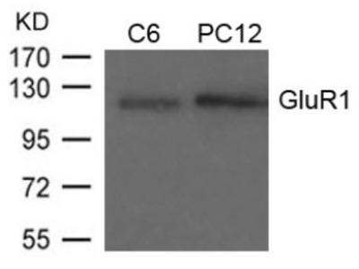 GluR1 (Ab 849) Antibody