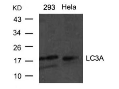 LC3A Antibody